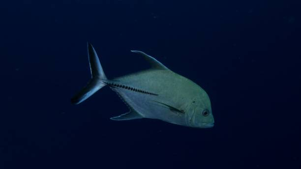 Close-up view of Black jack fish undersea stock photo