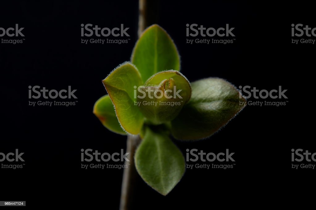 closeup view of branch with leaves isolated on black background royalty-free stock photo