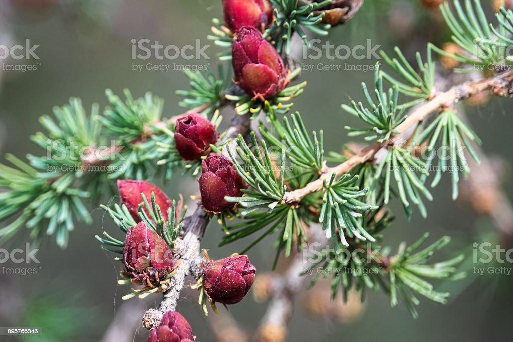 Vista de cerca de ramas con conos jóvenes tamarack - foto de stock