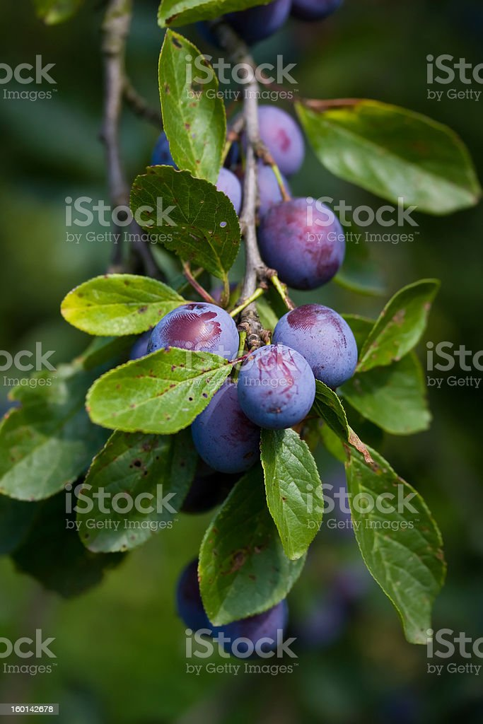 Close-up view of bunch of growing plums on stem with leaves stock photo