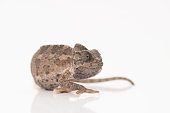 Close-up view of  chameleon isolated on white