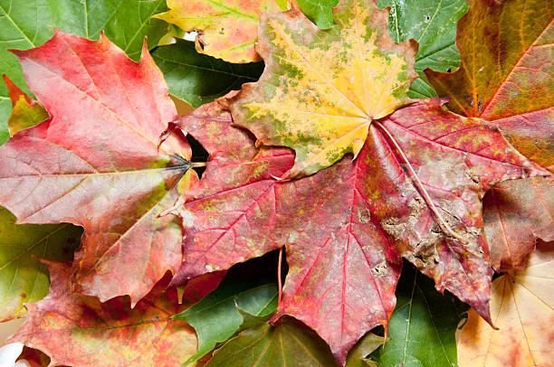 Closeup view of colorful fall leaves stock photo