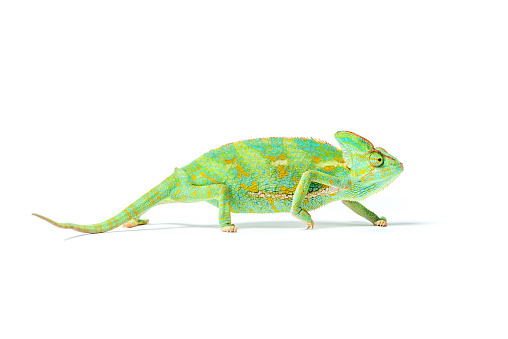 close-up view of colorful tropical chameleon isolated on white