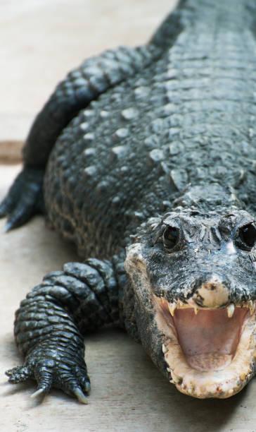 close-up beeld van krokodil - leatherback mouth stockfoto's en -beelden