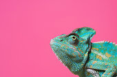 close-up view of cute colorful exotic chameleon isolated on pink