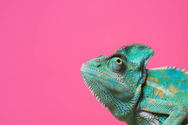 vergrößerte ansicht des niedlichen bunten exotischen chamäleon isoliert auf rosa - rosa tarnfarbe stock-fotos und bilder