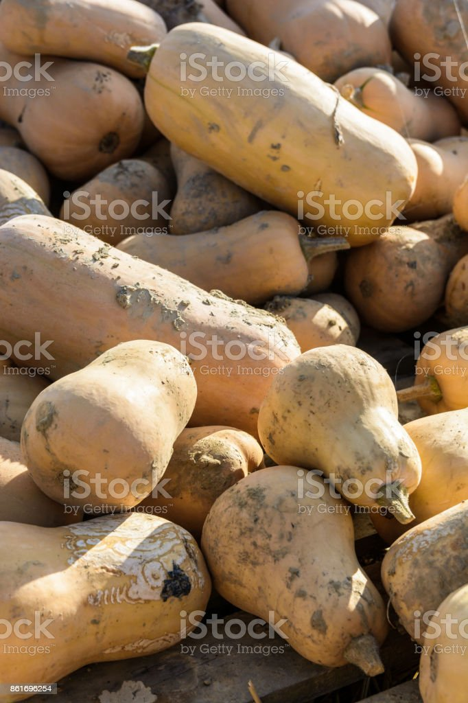 Close-up view of dozens of freshly picked, unwashed butternut squashes stacked outdoors in the sunset light stock photo