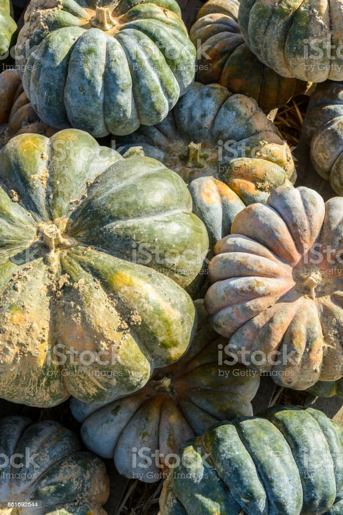 Close-up view of dozens of freshly picked, unwashed squashes from the variety 'Musquee de Provence' or 'Moscata di Provenza' stacked outdoors in the sunset light stock photo