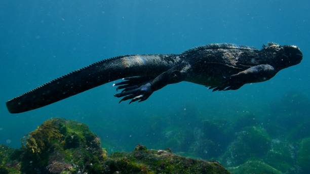 Close-up view of Galapagos Marine Iguana swimming undersea stock photo