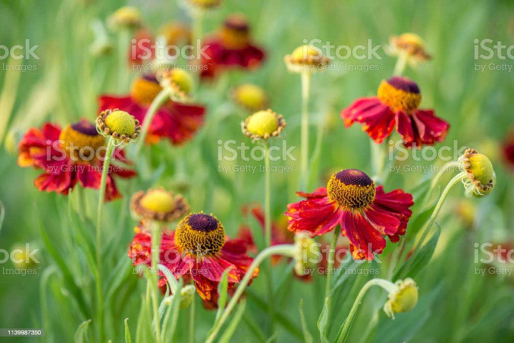 Close-up view of helenium flowers stock photo