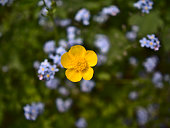Closeup view of isolated wild buttercup flower (ranunculus) with yellow blossom. Focus on blooming flower head with Bokeh background of blue wild flowers and grass.
