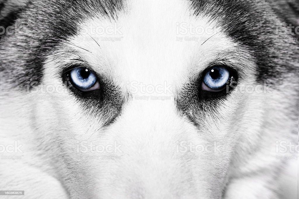 Close-up view of light blue eyes of husky dog stock photo