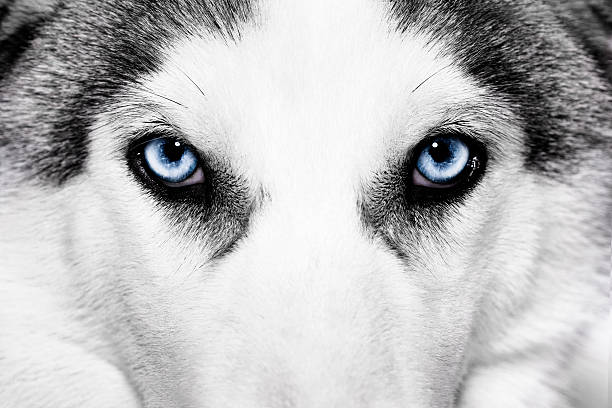 Close-up view of light blue eyes of husky dog close-up shot of husky dog blue eyes husky dog stock pictures, royalty-free photos & images