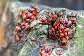 Close-up view of many firebugs Pyrrhocoris apterus on tree stub. Details of beautiful red beetles colony.