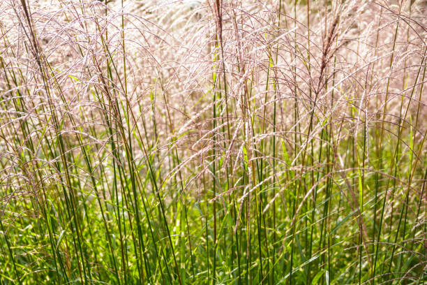 close-up view of miscanthus sinensis plant with backlighting showing up  glossy pink flowers and green stems - miscanthus sinensis foto e immagini stock