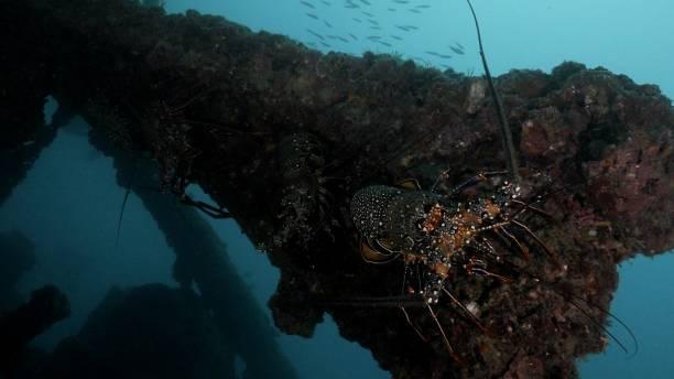 Close-up view of Ogasawara Spiny Lobster (Panulirus brunneiflagellum) undersea in Japan stock photo