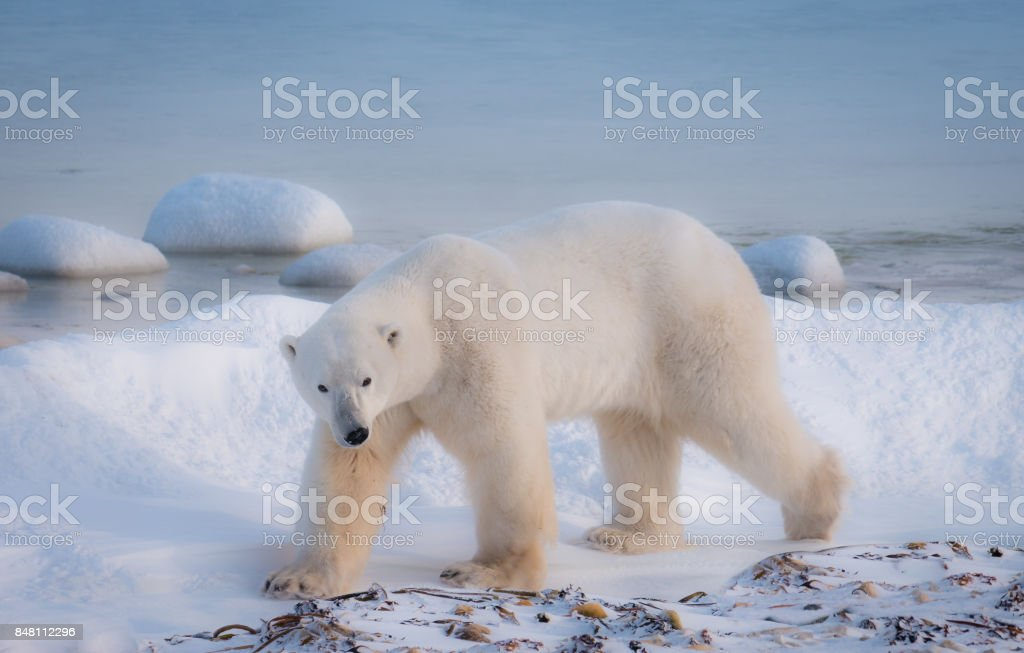 Close-up view of one adult male polar bear walking on snow beside water of Hudson Bay. Churchill, Canada. stock photo