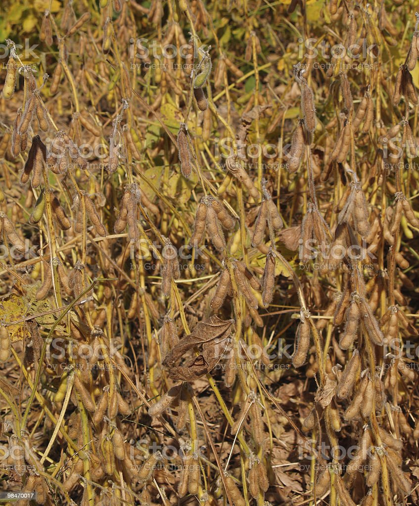 Close-up view of Ripening Soybeans royalty-free stock photo