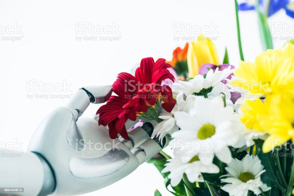 close-up view of robot touching beautiful flowers isolated on white royalty-free stock photo