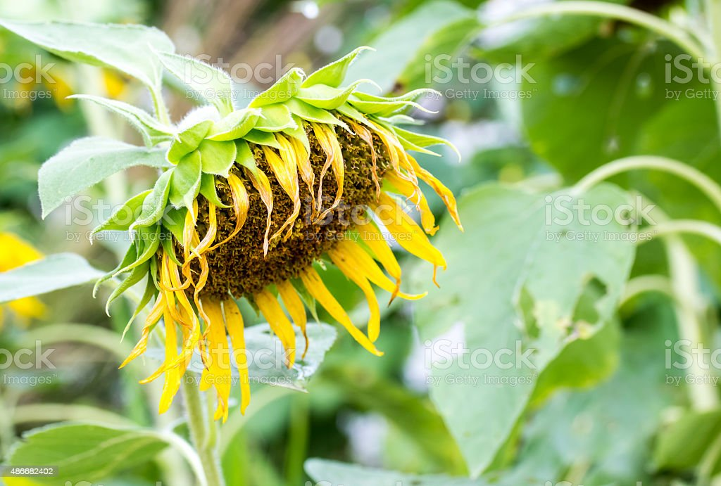 Close-up view of single drooping and wilted sunflower stock photo