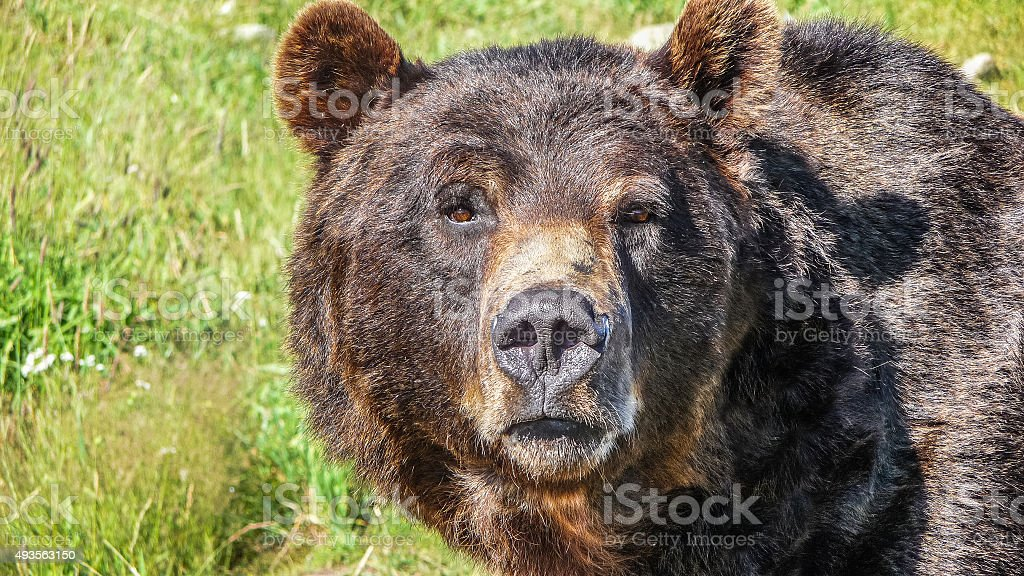 Close-up view of staring grizzly bear in the Canadian wilderness stock photo