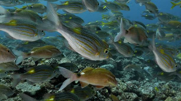Close-up view of Striped large-eye bream fish at undersea coral reef stock photo