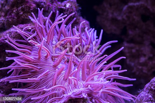 closeup view of Striped Long Tentacle Anemone in underwater