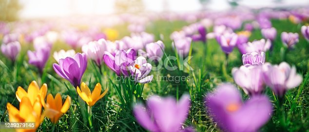 istock Closeup view of the spring flowers in the park 1289379145