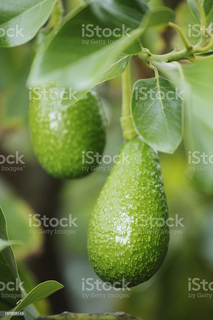Close-up view of two fresh avocado hanging on a tree royalty-free stock photo