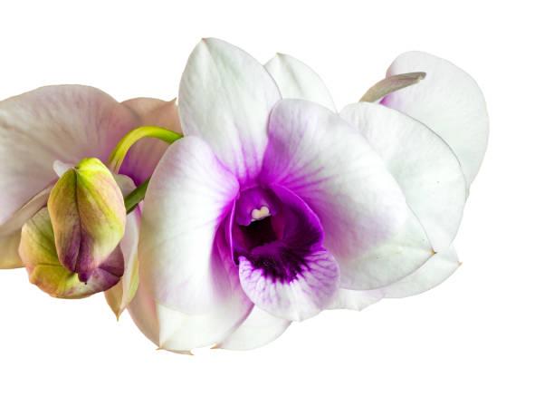Detailansicht der weißen Orchidee blüht – Foto