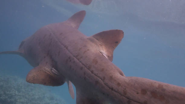 Close-up view of wild Sand tiger shark (Carcharias taurus) under sea surface stock photo