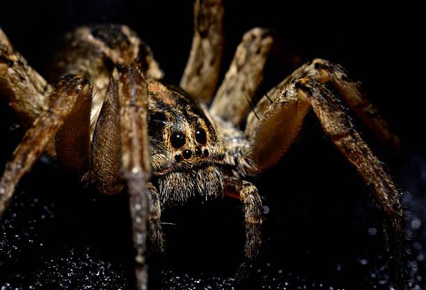 vue rapprochée de lycose isolé sur noir - araignée photos et images de collection