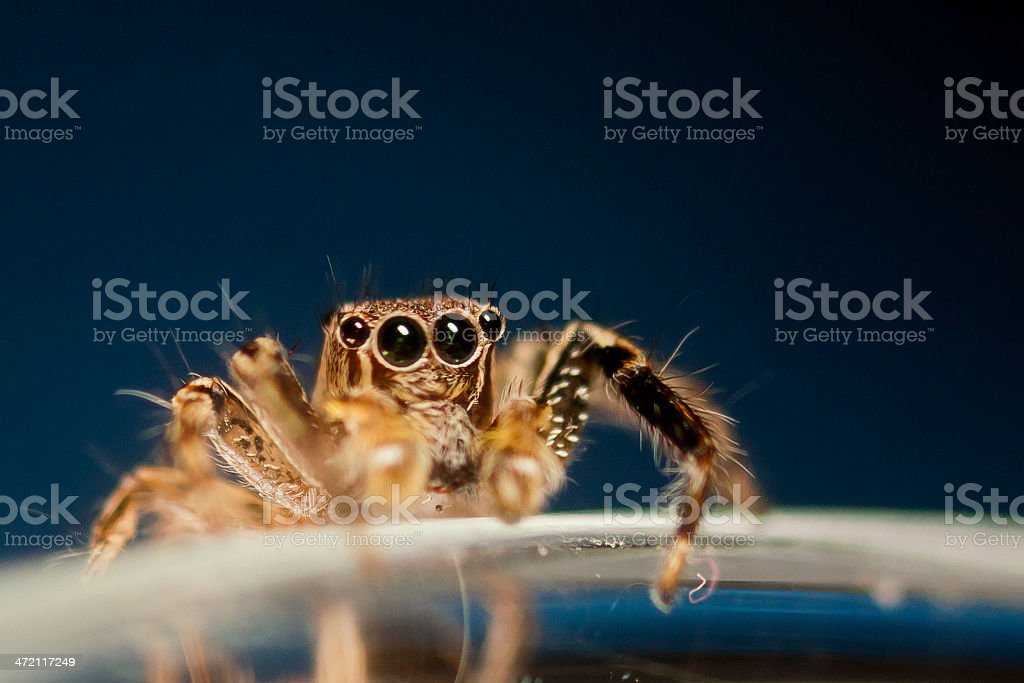 Close-up view of wolf spider isolated on black royalty-free stock photo
