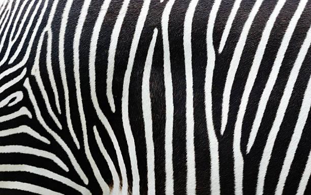 Closeup view of zebra stripes picture id170615172?b=1&k=6&m=170615172&s=612x612&w=0&h=euz755yu7kfndrwstni6gb9ceeieov3je0f4 ss qoi=