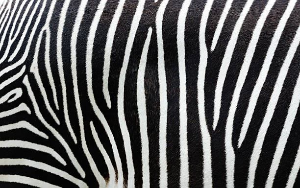 close-up view of zebra stripes - gestreept stockfoto's en -beelden