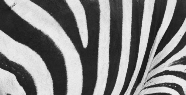 Close-up view of zebra stripes with a black and white pattern stock photo