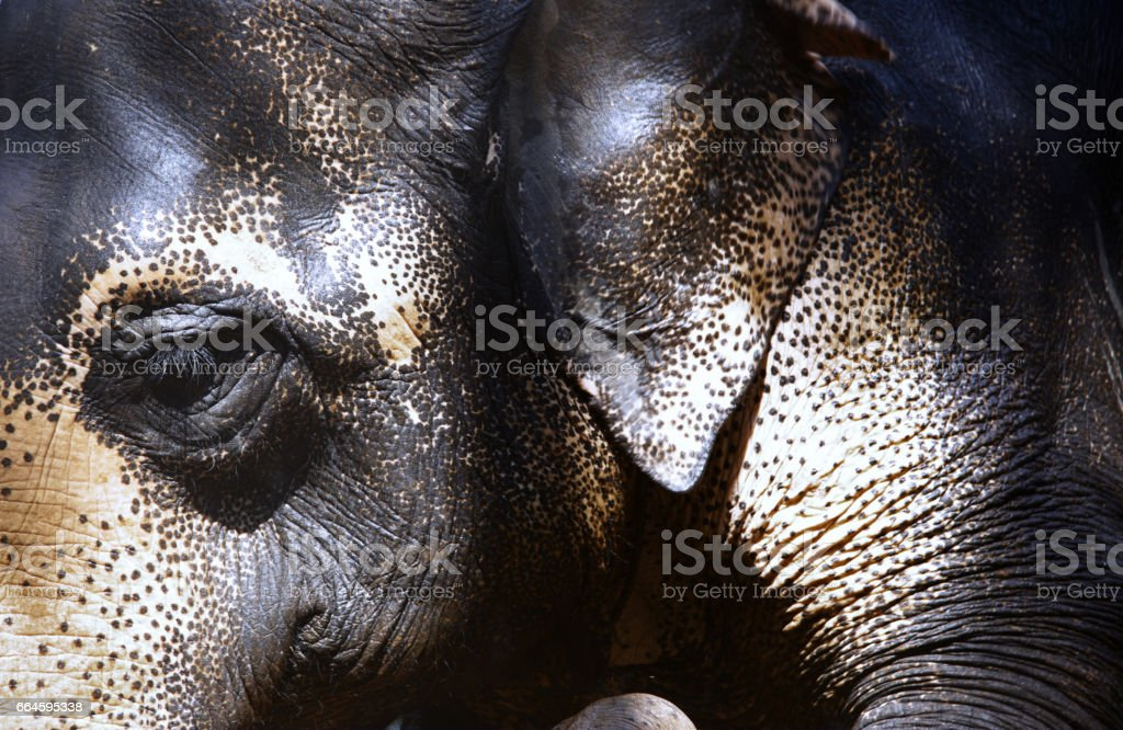Close-up view on Indian Elephant stock photo
