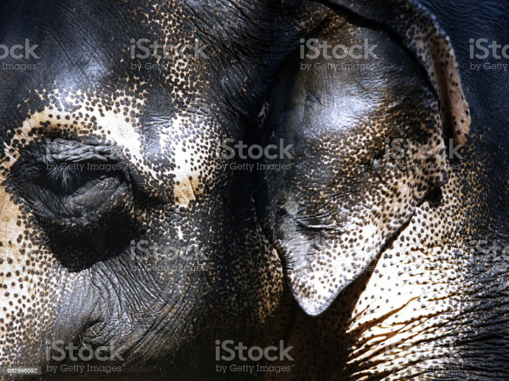 Close-up view on Indian Elephant royalty-free stock photo