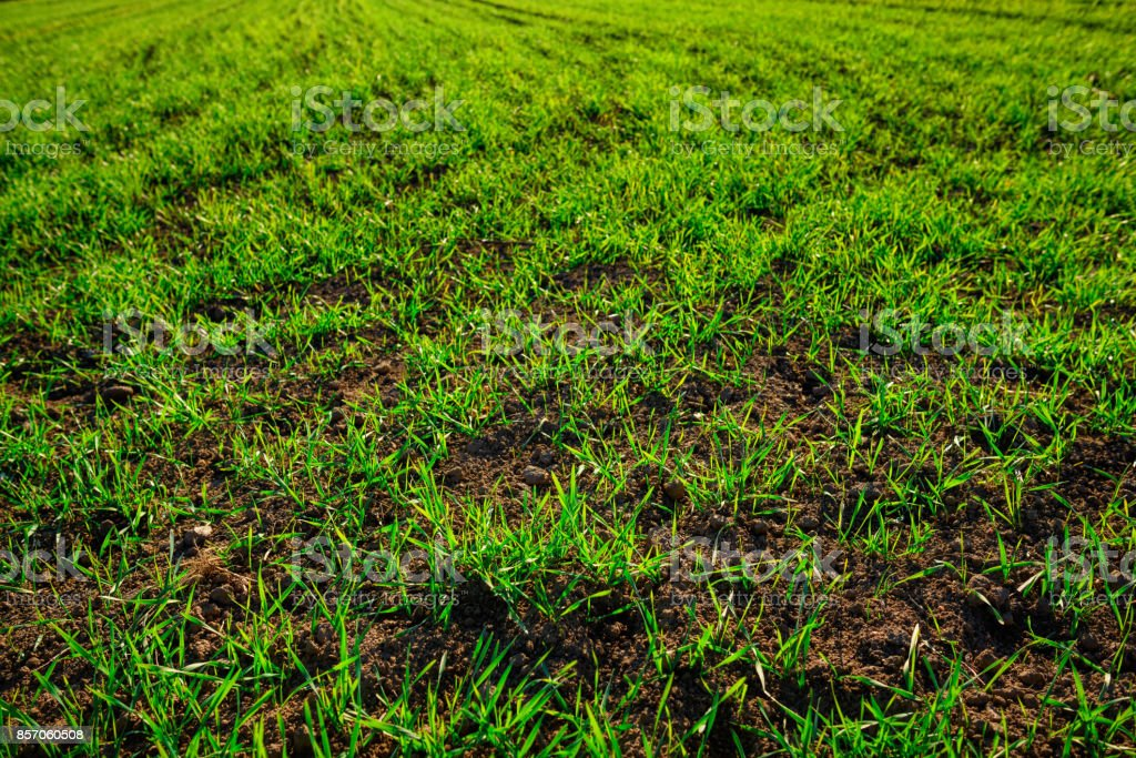 Close-up view on the farm cornfield with green grass and soil in countryside stock photo