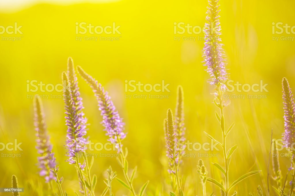 closeup violet prairie flowers in a sunlight royalty-free stock photo