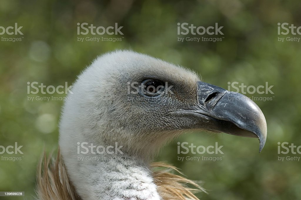 Close-up Vulture stock photo