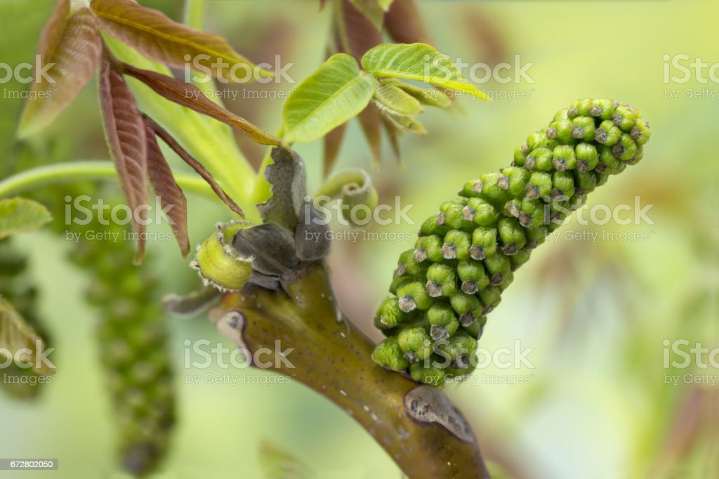 Closeup walnut inflorescence before blooming and young leaves on a branch. Selective focus. Small DOF stock photo