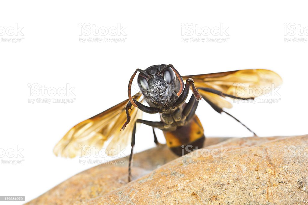 Closeup wasps are aggressive insects royalty-free stock photo