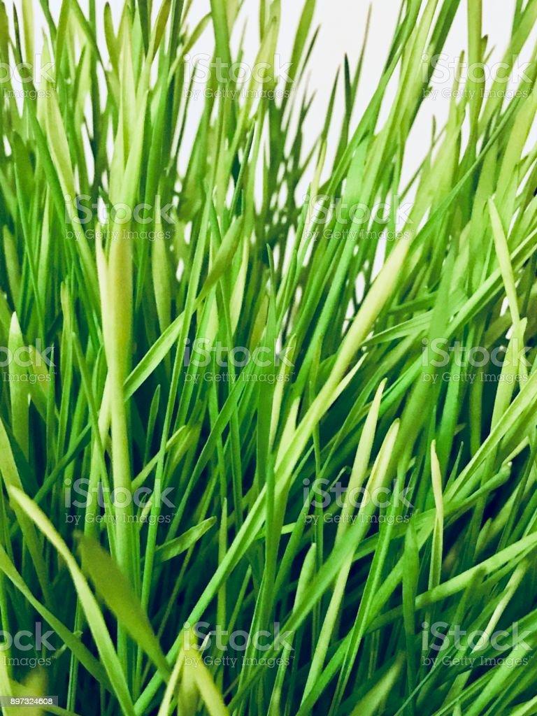 Close-up Wheat Grass stock photo