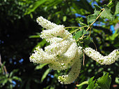 Close-up white beautiful and fragrant flowers. Buddleja paniculata Wall, Butterfly Bush, Rachawadee is a small perennial shrub, blur background, macro.