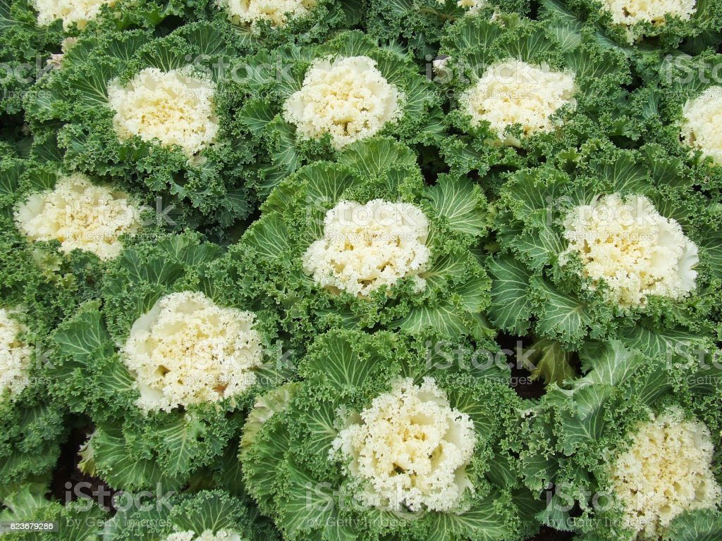 Closeup White Cabbage Plants In The Garden Stock Photo More