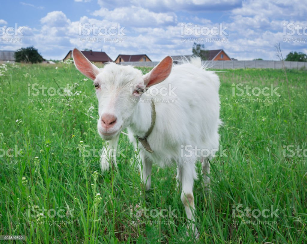 Close-up white goat grassing on green field at village countryside stock photo