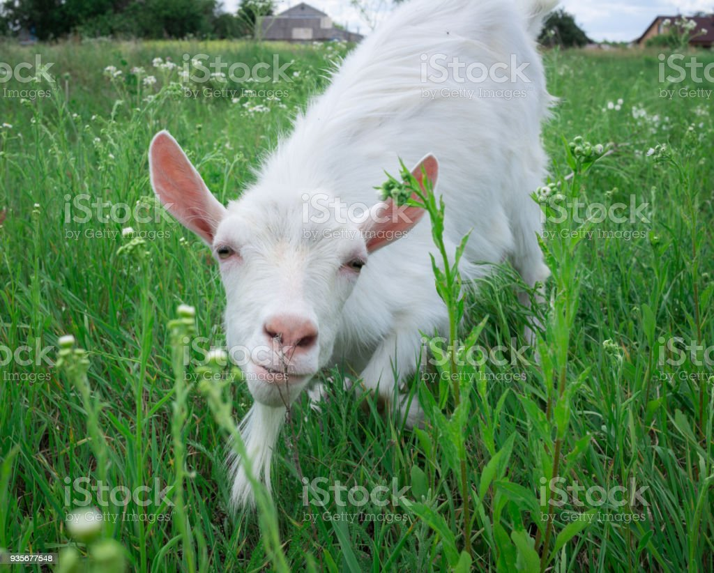 Close-up white goat grassing on green meadow at village countryside stock photo