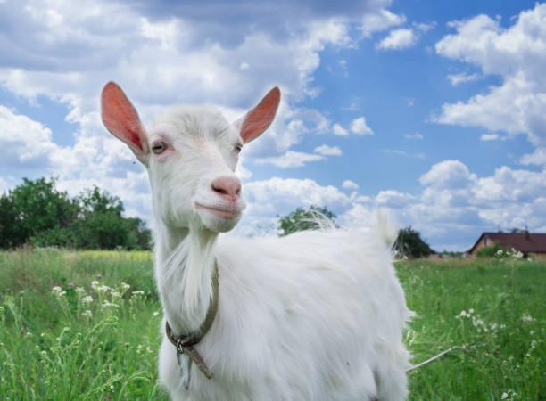 Gros plan chèvre blanche enherbement sur champ pré vert au village - Photo