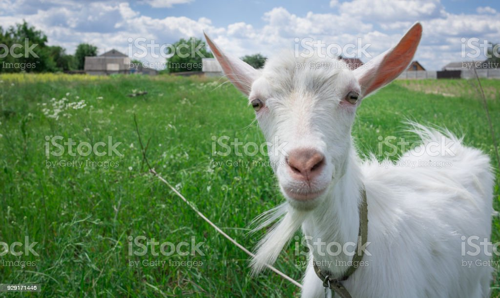 Close-up white goat grassing on green summer field at countryside stock photo